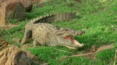 """The giant Crocodile lying on grass field and open their mouths in a process that is called """"mouth gaping"""""""