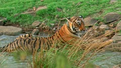A Radio collared Bengal Tiger walking through rocks across the water field.
