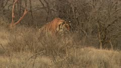 A Radio collared Bengal Tiger stalking at dry grass field and looking around. Then Tiger sits down.