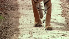 A Bengal Tiger walking towards the camera in forest road.