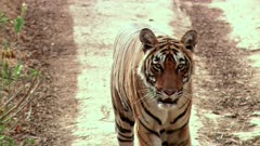 A Bengal Tiger walking towards the camera in forest road and looking at camera.