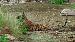 A Radio collared Bengal Tiger resting at the water pool and looks around. Tiger shaking its tail.