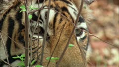 A Bengal Tiger looking through bushes.