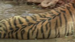 A Male Bengal Tiger sits in water pool and growling towards the camera.