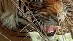 A Male Bengal Tiger growling towards the camera and looks away.