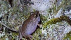 Coqui Frog Close Up, Calling, Night Time, Hawaii, Invasive Species