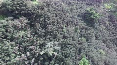 Aerial Footage Close Flying Hawaiian Forest and Mountain