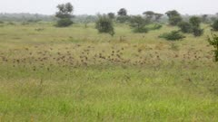 Red-Billed Quelea (Quelea Quelea) Big Flock Flying And Settling In Grassland Kruger National Park
