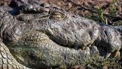 Nile crocodile (Crocodylus niloticus) sleeping opens eye