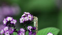 Utetheisa pulchelloides (heliotrope moth) family Erebidae feeding on flower of heliotrope cherry pie plant (Heliotropium arborescens) Australia