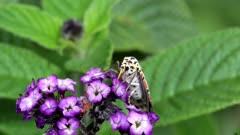 Utetheisa pulchelloides (heliotrope moth) family Erebidae eating flower of heliotrope cherry pie plant (Heliotropium arborescens) Australia