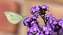 Cabbage white butterfly (Pieris rapae),eating flower of heliotrope cherry pie plant (Heliotropium arborescens) Australia