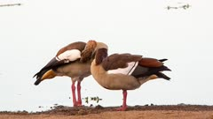 Egyptian goose  geese (Alopochen aegyptiaca) cleaning and preening at waterhole Kruger national Park South Africa