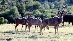 Greater Kudu (Tragelaphus Strepsiceros) bull and cows Browsing On Grassland Kruger National Park