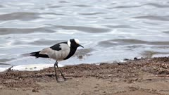 blacksmith lapwing or blacksmith plover (Vanellus armatus) feeding at waterhole Kruger national park South Africa