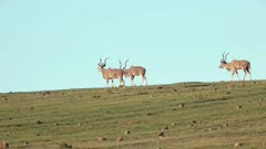 Greater kudu Tragelaphus strepsiceros bulls walking and grazing  Addo Elephant National Park