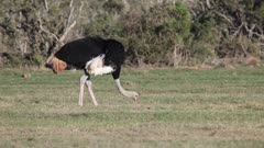 South African ostrich male (Struthio camelus australis) walking and grazing  Addo Elephant National Park