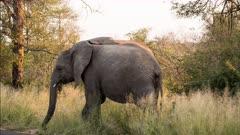 African elephant (Loxodonta africana) grazing winter grass Kruger National park