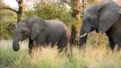 African elephant (Loxodonta africana) grazing winter grass with calf