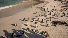 African penguin (Spheniscus demersus), also known as jackass penguin and black-footed penguin, nesting with chicks at Boulders Beach South Africa