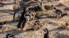 African penguin (Spheniscus demersus), also known as jackass penguin and black-footed penguin leaves nest chick inside Boulders Beach South Africa