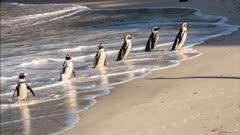 African penguin (Spheniscus demersus), also known as jackass penguin and black-footed penguin, adults wade ashore in line Boulders Beach South Africa