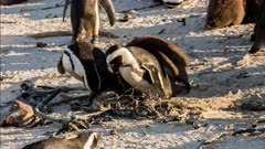 African penguin (Spheniscus demersus), also known as jackass penguin and black-footed penguin, large chicks pursue mother and beg for food Boulders Beach South Africa