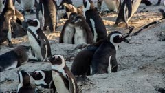 African penguin (Spheniscus demersus), also known as jackass penguin and black-footed penguin, adult feeding big chicks, Boulders Beach South Africa