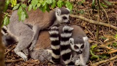 Lemur catta (the ring-tailed lemur or ringtail lemur) grooming, hugging, jumping in forest