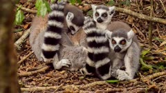 Lemur catta (the ring-tailed lemur or ringtail lemur) grooming, hugging, jumping, yawning, showing teeth in forest