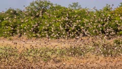 Red-Billed Quelea (Quelea Quelea) Big Flock Flying And Settling In Grassland and trees Kruger National Park