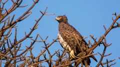 Martial eagle (Polemaetus bellicosus) lookout on tree twists neck 180 degrees Kruger National Park