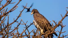 Martial eagle (Polemaetus bellicosus) attacked by small bird on tree Kruger National Park