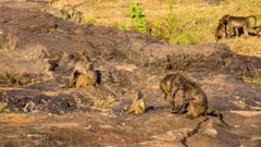 Chacma baboon (Papio ursinus), also known as the Cape baboon, adults juveniles baby babies family group playing caring on rocks early morning dawn Kruger National Park South Africa