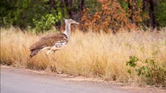 Kori bustard (Ardeotis kori), largest flying bird native to Africa, walks through grassland Kruger national Park South Africa.