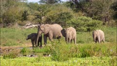 Small herd of African elephants (Loxodonta africana) adults and calves drinking at waterhole then moving off Kruger National Park South Africa
