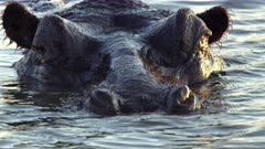 Hippo (Hippopotamus Amphibius) Adult Swimming Opens Mouth Wide Showing Tusks And Tongue Closeup Slomo Kruger National Park