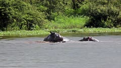 Hippo (Hippopotamus Amphibius) Adult Males Tussle And Mock Battle Showing Tusks During Mating Season Kruger National Park