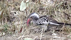 Red-Billed Hornbill (Tockus Erythrorhynchus) On Ground Feeding Kruger National Park