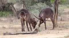 Waterbuck (Kobus Ellipsiprymnus) Antelope Young Bulls Lock Horns Sparring For Dominance At Start Of Breeding Season Kruger National Park