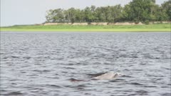 River Dolphins From The Surface