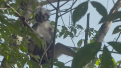 Baby Thomas Leaf Monkey sitting with mother in tree; Mother looking around