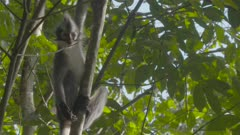 Adult Thomas Leaf Monkey in tree, climbs down then leaps out of shot