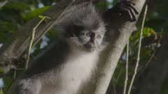Adult Thomas Leaf Monkey in tree looking down; close up on face