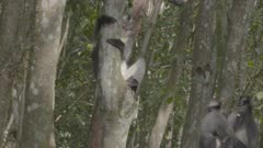 Group of Thomas Leaf Monkeys amongst the trees; one feeds on banana, one jumps onto another tree.