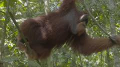 Male Sumatran Orangutan climbing up a tree