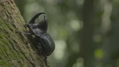 Rhinoceros Beetle walking on the trunk of a large tree