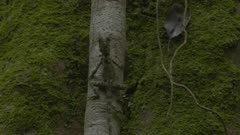 Lizard resting on large tree roots; camera pans from tail to head