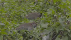 Crab-eating Macaque troop foraging amongst the leaves