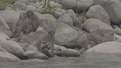 Crab-eating Macaque troop drinking from a river